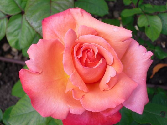 Rose (1) - Journées de la Rose - Abbaye de Chaalis (oise)