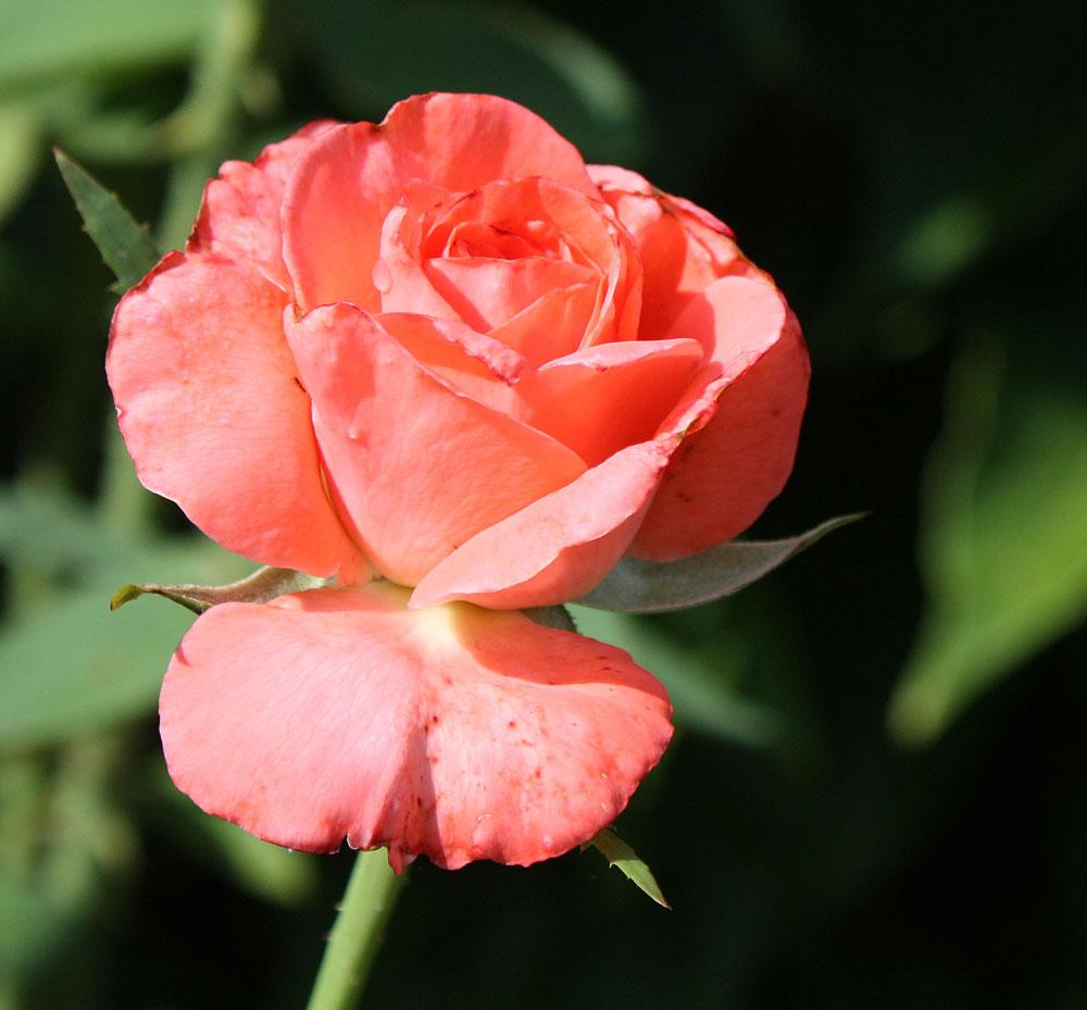 Rose 11.297