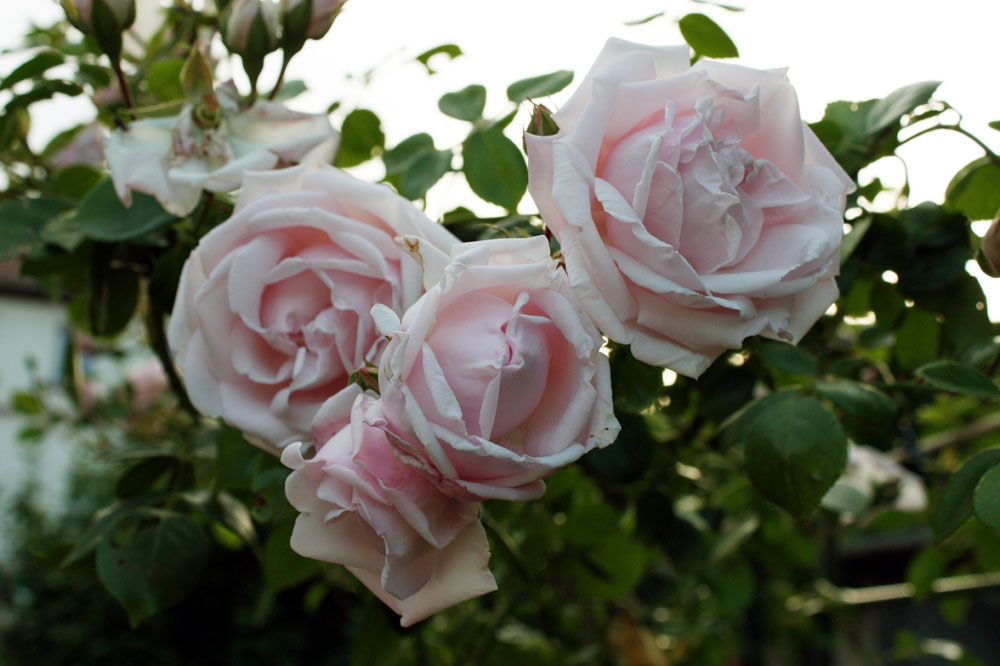 Rose 12631