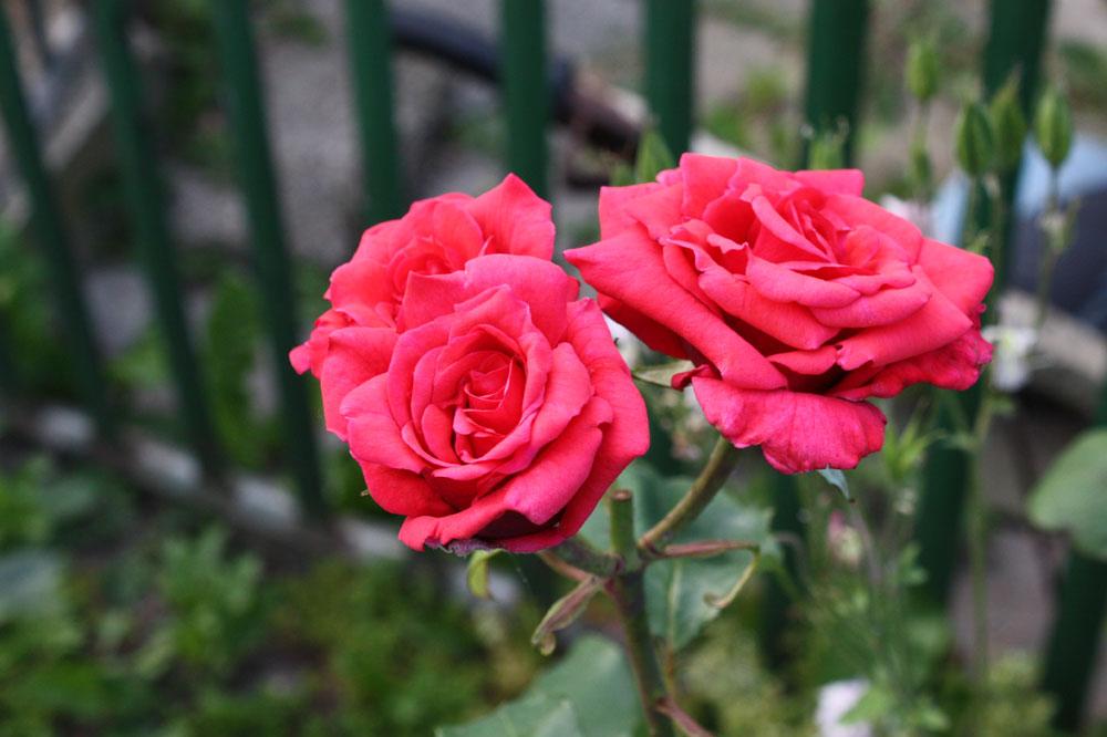 Rose 12639