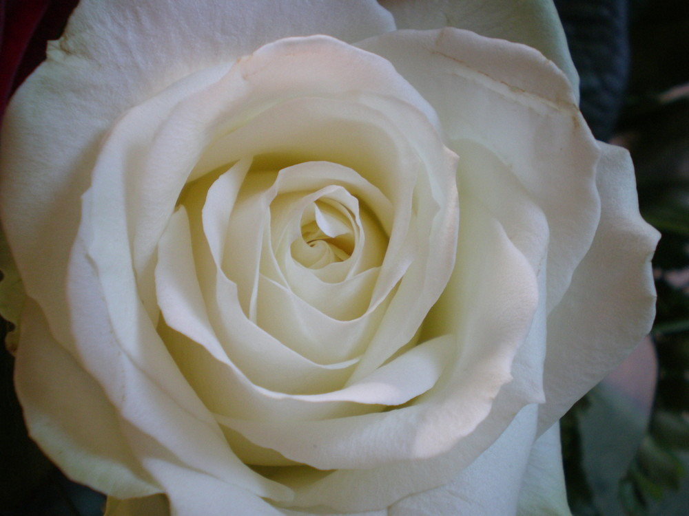 _Rose_