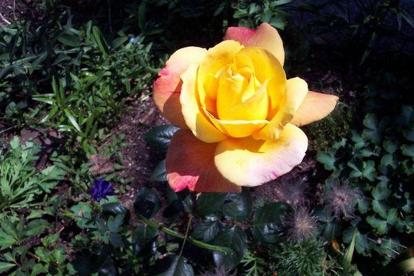 . Rose