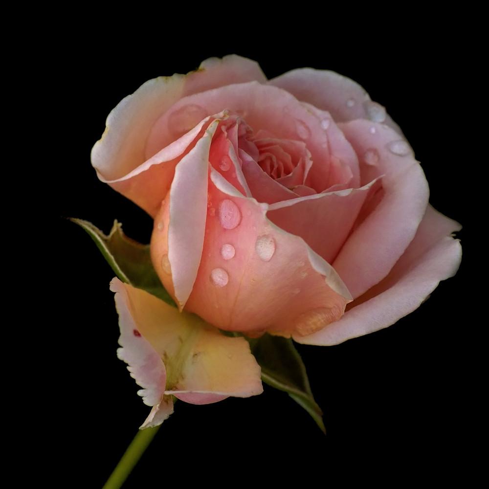 Rose 2008