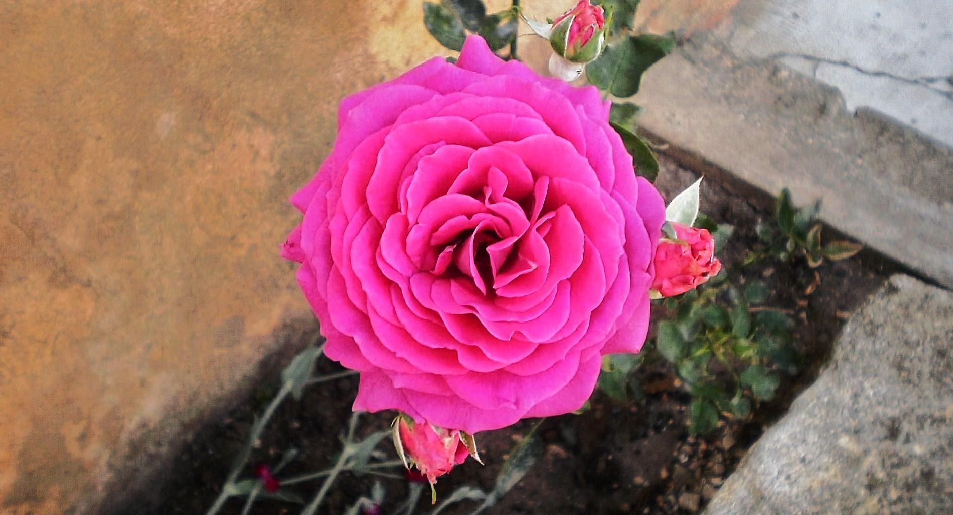 rose.........
