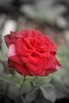 Rose (: