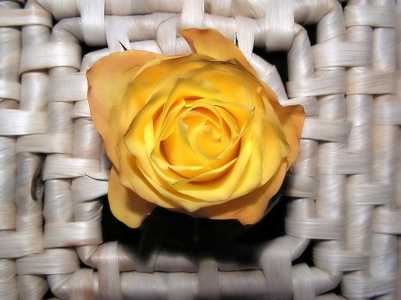 Rose.............