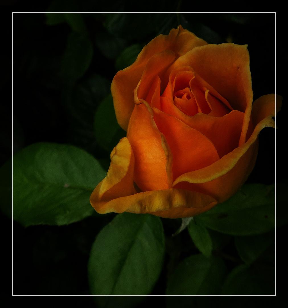 #...Rose........#