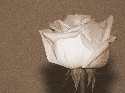 >Rose