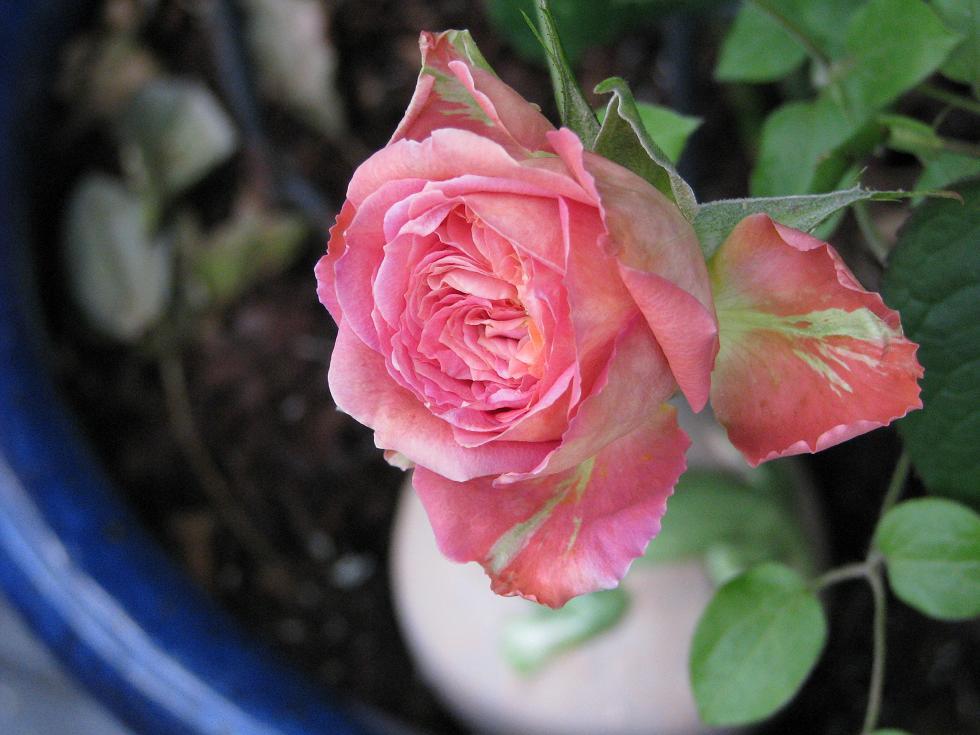 ... Rose