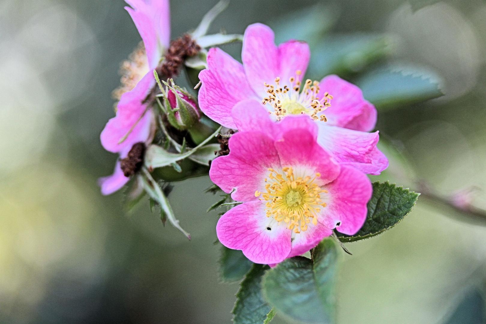Rose#