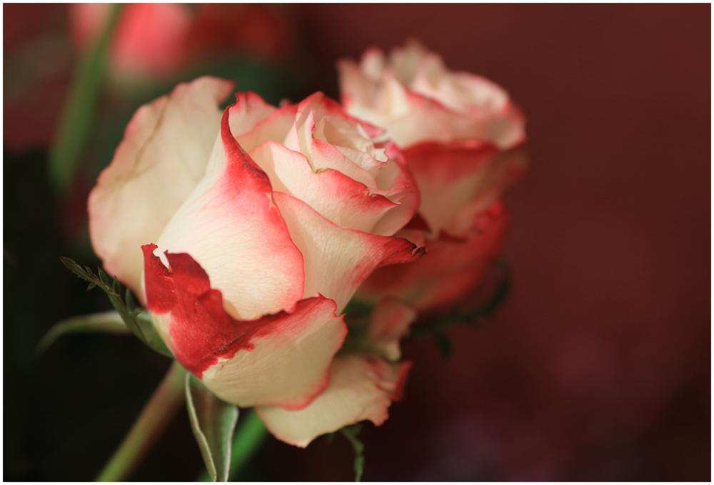 Rose (9638)