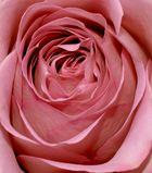 - Rose -