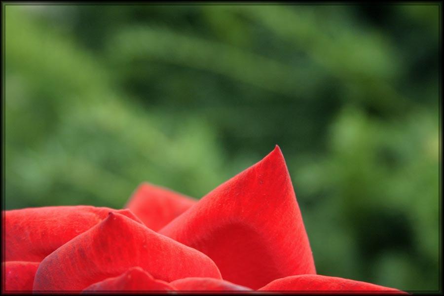 .rose