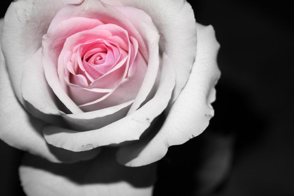 rose`