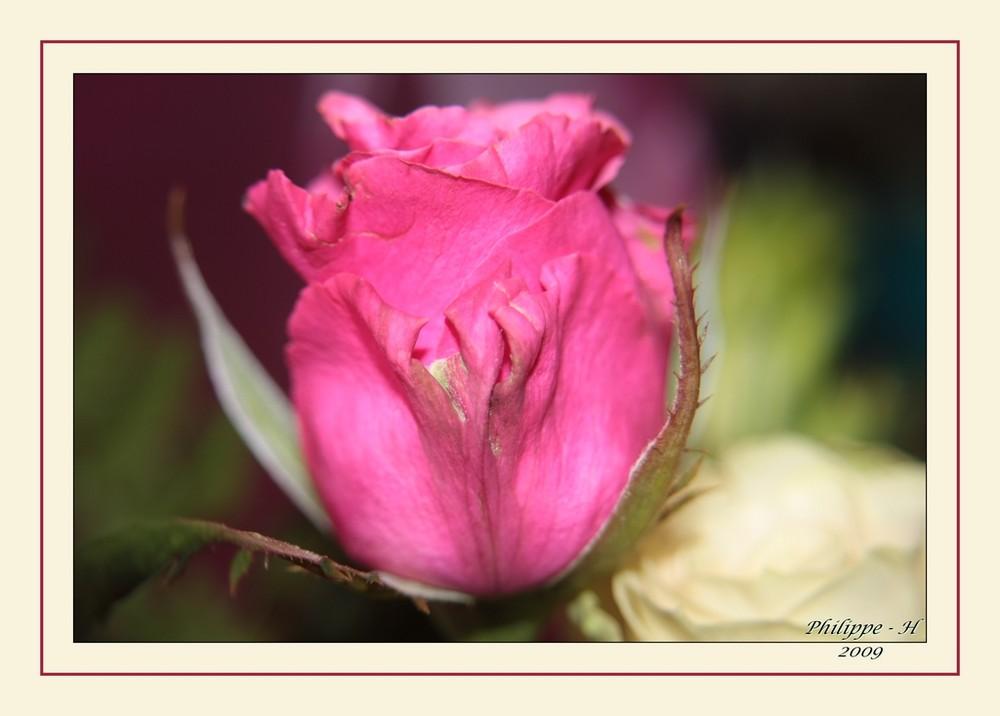 Rose à la loupe