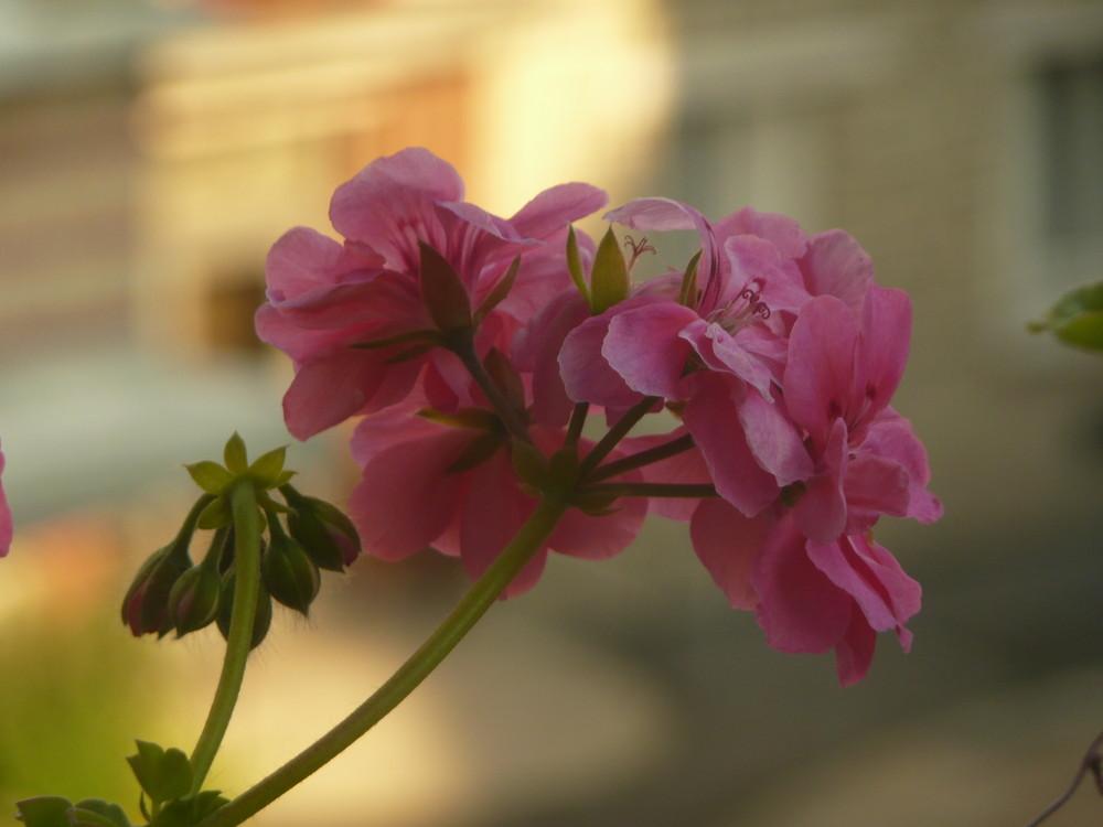 Rose à ma fenêtre