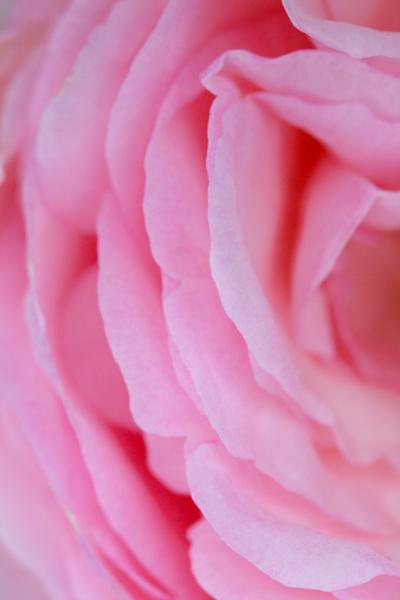 Rose à moitié ...