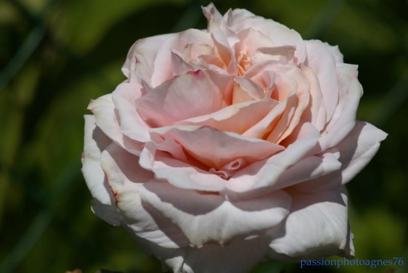 rose a triple coeur