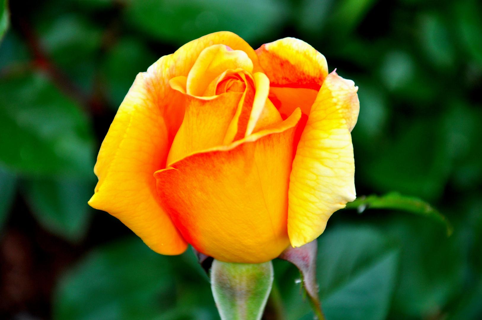 Rose aber ..............
