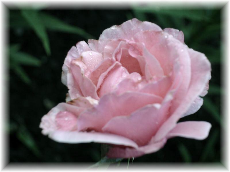 Rose after rain...