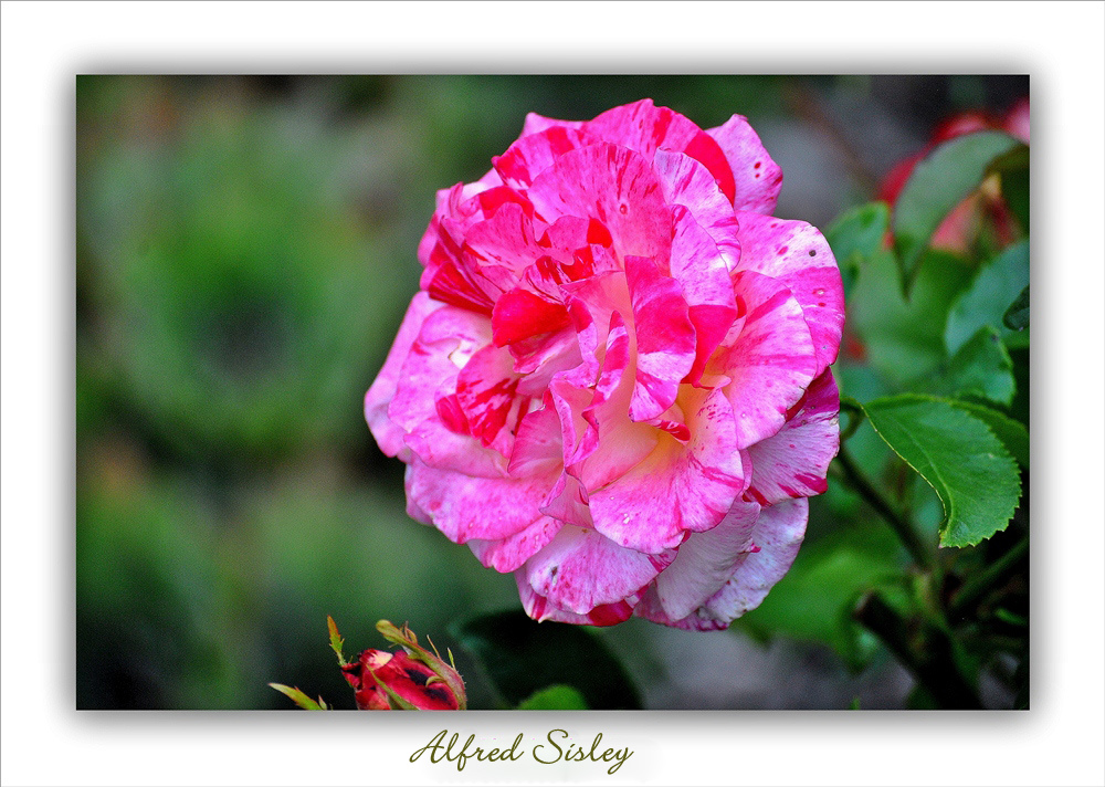 """Rose """"Alfred Sisley """""""
