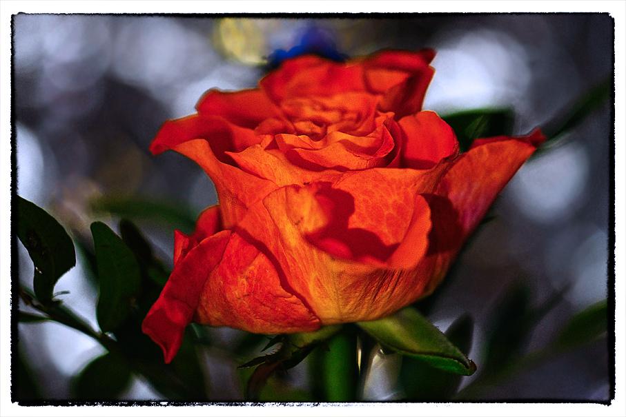 Rose als....