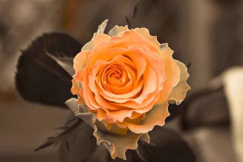 Rose am Haken