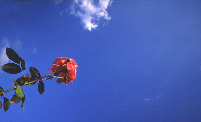 Rose am Himmel