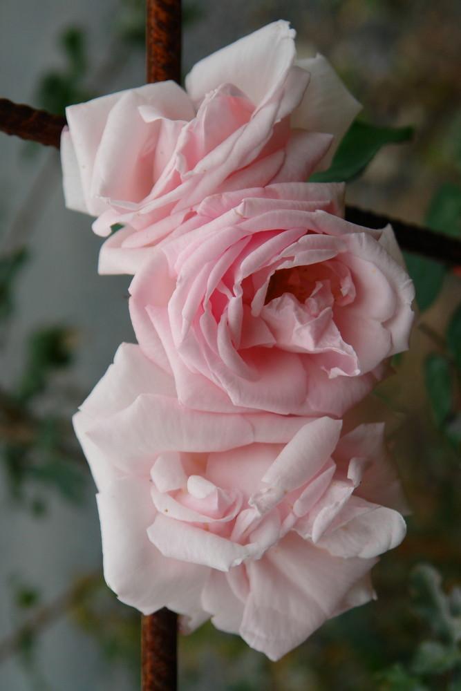 Rose am Kreuz