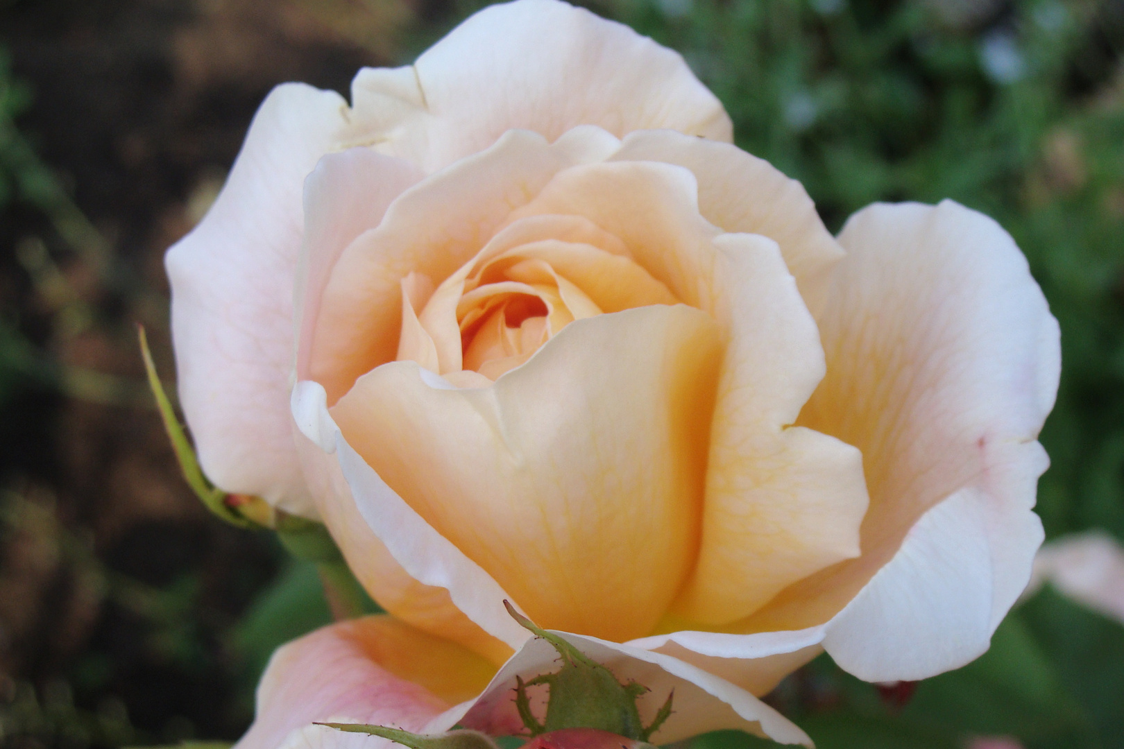 Rose am Morgen