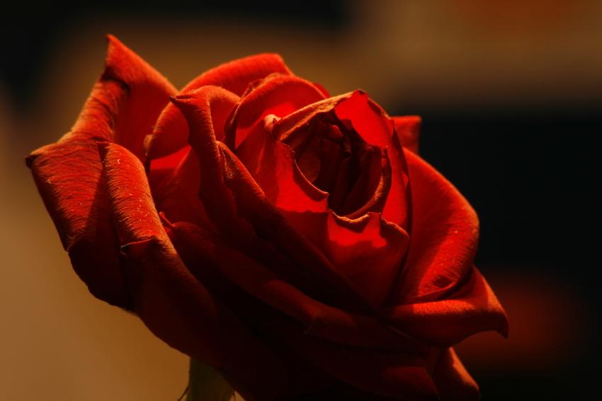 rose am morgen....
