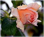 Rose am Sonntagmorgen