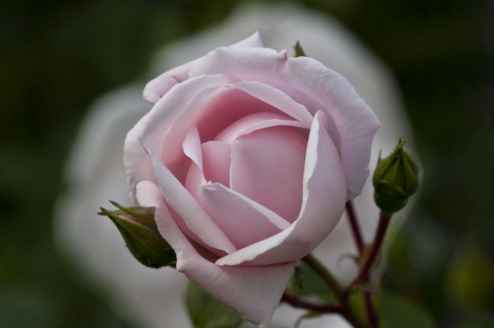 Rose am Uhrenblock