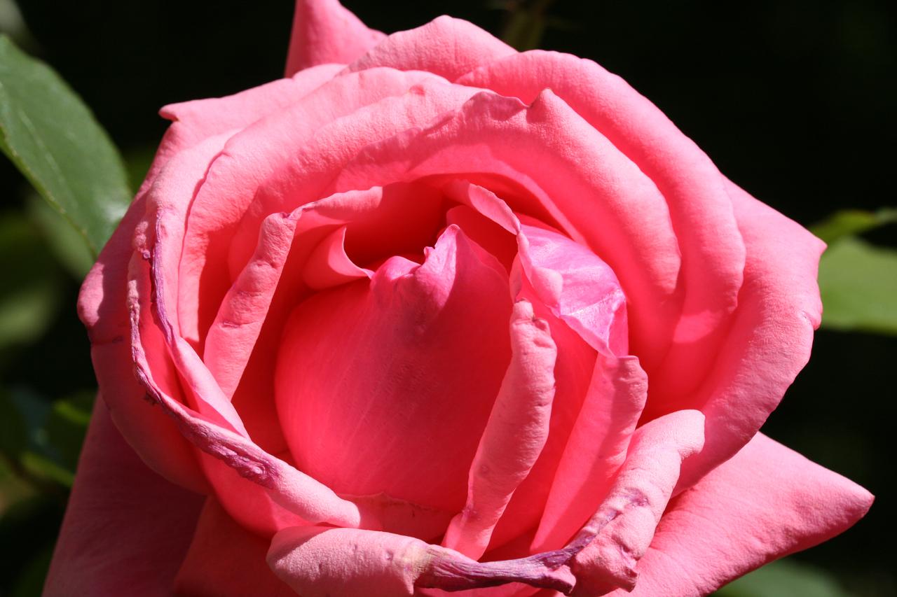 Rose am verwelken