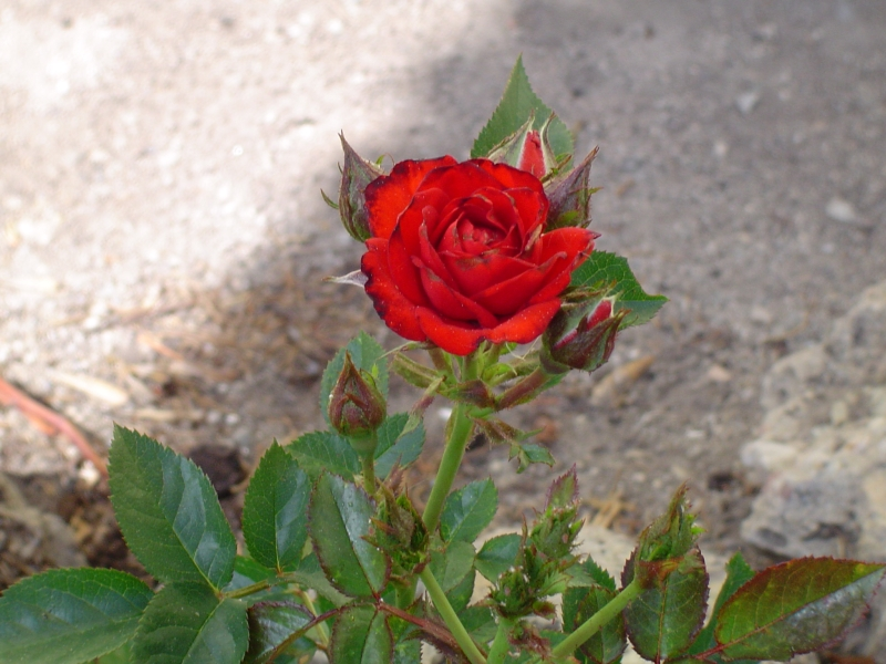 Rose am Wegesrand