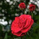 Rose am Weinberg