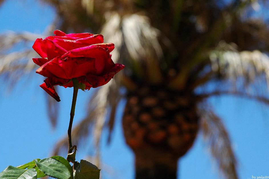 Rose an Palme