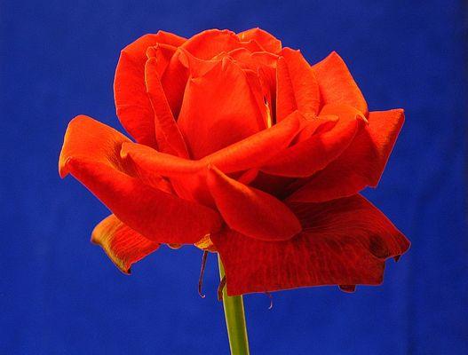 Rose an Yves Klein*