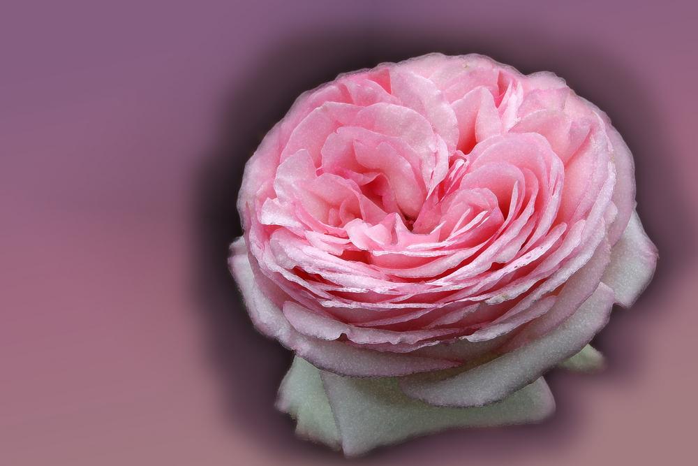 rose ancienne aux parfums subtils