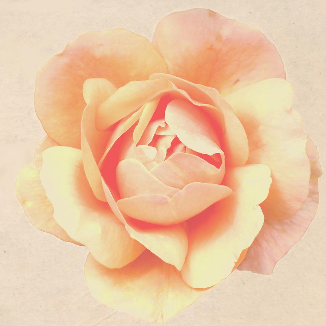 Rose antik