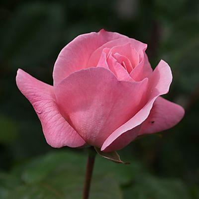 Rose au carré