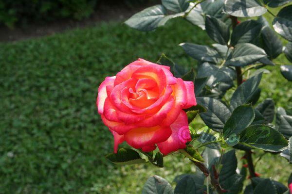 Rose au jardin de la Bagatelle