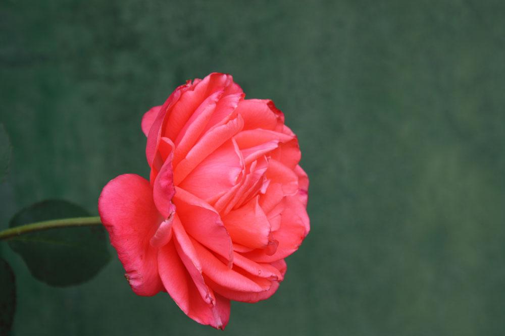 Rose auch vom 25.09.2013