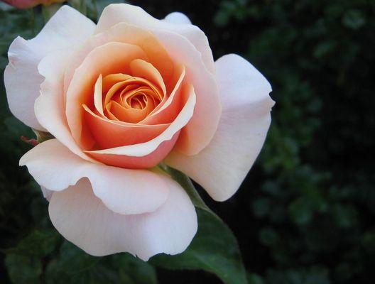 Rose auf der Landesgartenschau Wernigerode 2006