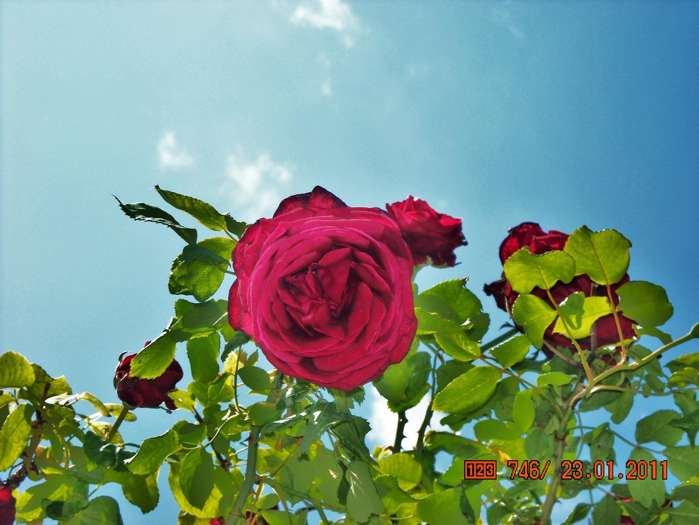 Rose auf Mallorca