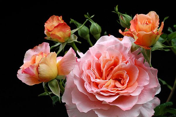 """Rose """"Augusta Luise"""" #2"""