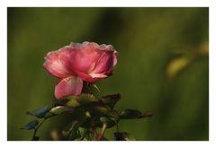 Rose aus den Kleingärten