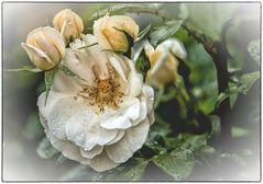 Rose aus meinem Garten