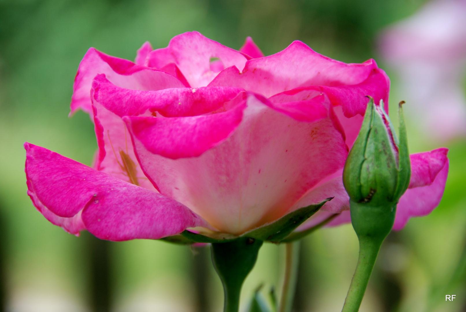 Rose aus Nachbars Garten
