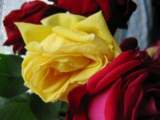 Rose aus Omas Garten